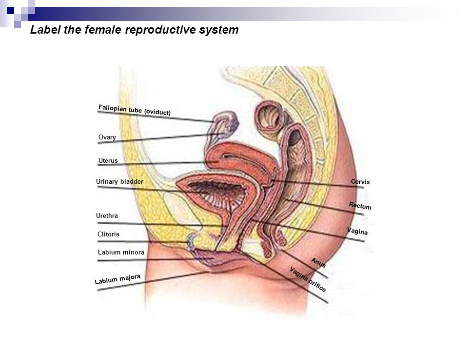 Label the female reproductive system