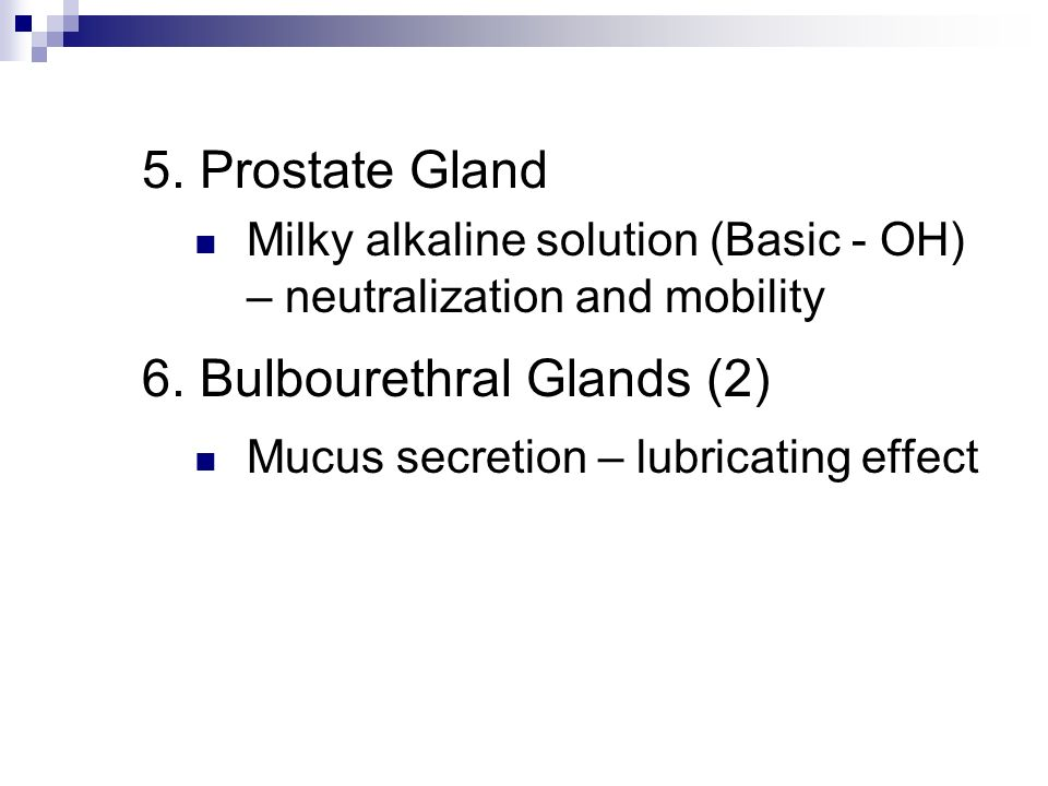 6. Bulbourethral Glands (2)