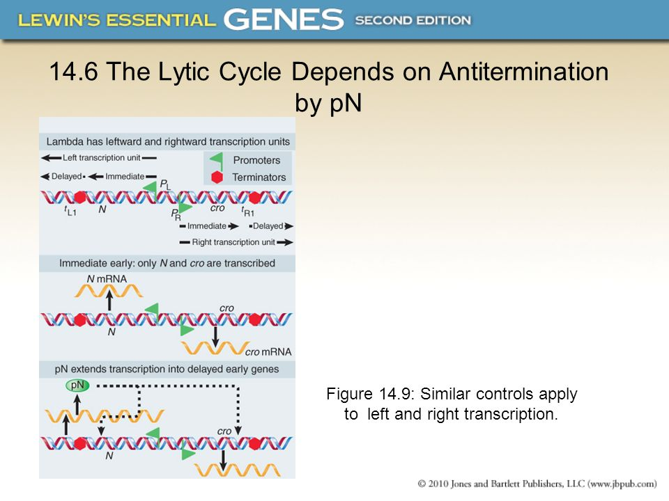 14.6 The Lytic Cycle Depends on Antitermination by pN