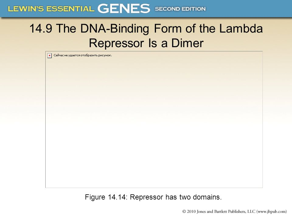 14.9 The DNA-Binding Form of the Lambda Repressor Is a Dimer