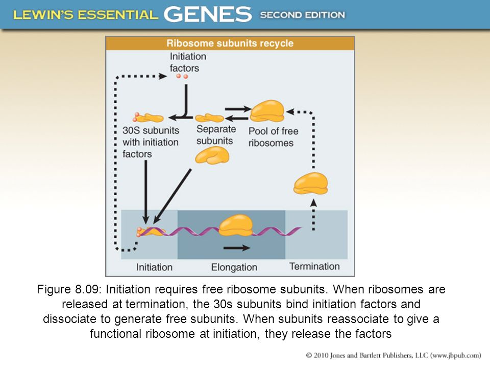 Figure 8. 09: Initiation requires free ribosome subunits
