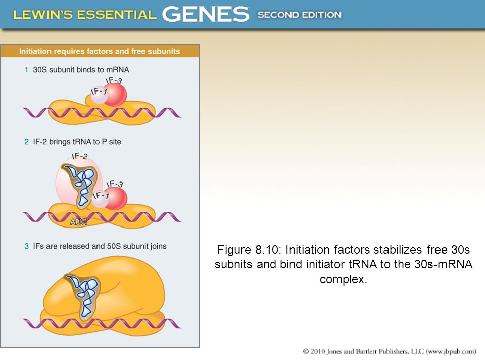 Figure 8.10: Initiation factors stabilizes free 30s subnits and bind initiator tRNA to the 30s-mRNA complex.
