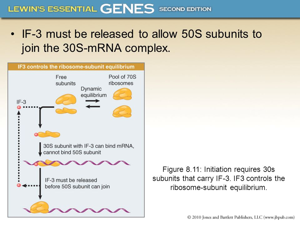 IF-3 must be released to allow 50S subunits to join the 30S-mRNA complex.