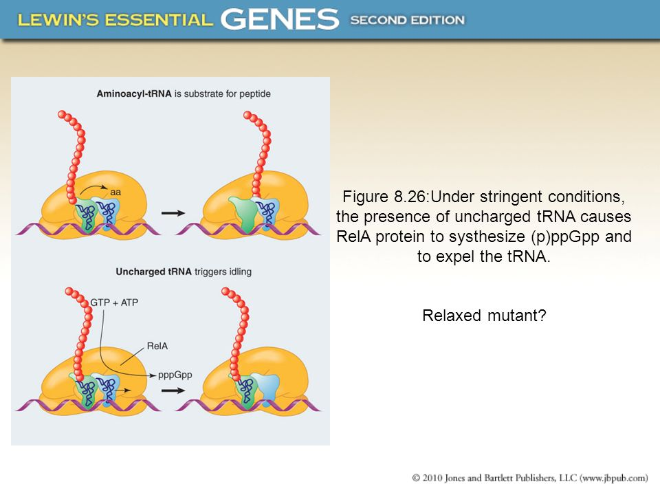 Figure 8.26:Under stringent conditions, the presence of uncharged tRNA causes RelA protein to systhesize (p)ppGpp and to expel the tRNA.
