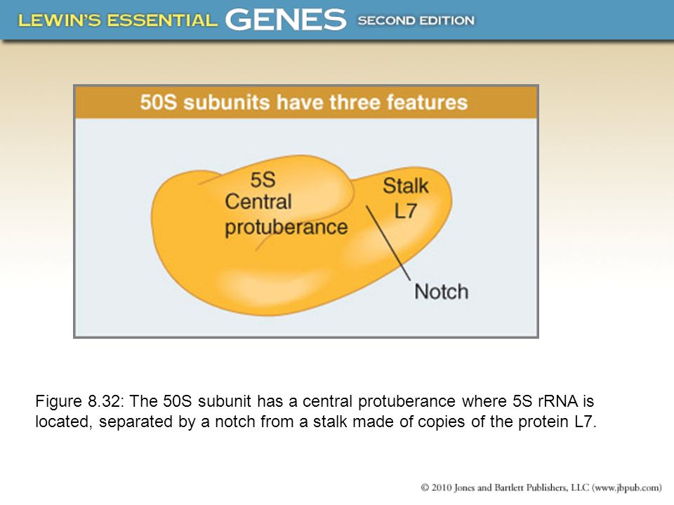 Figure 8.32: The 50S subunit has a central protuberance where 5S rRNA is located, separated by a notch from a stalk made of copies of the protein L7.