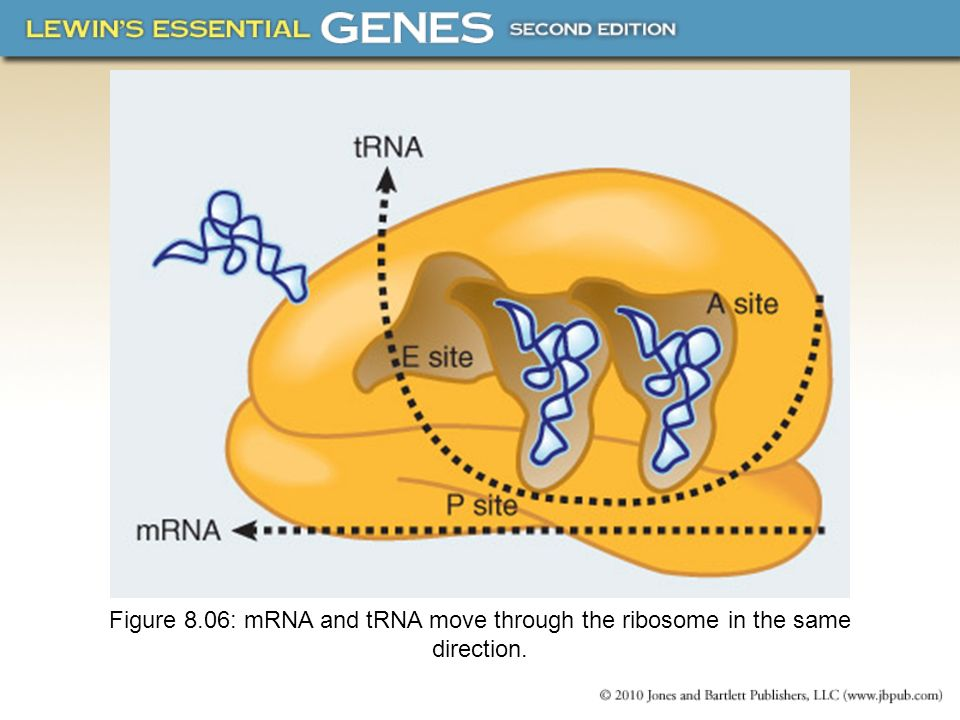 Figure 8.06: mRNA and tRNA move through the ribosome in the same direction.