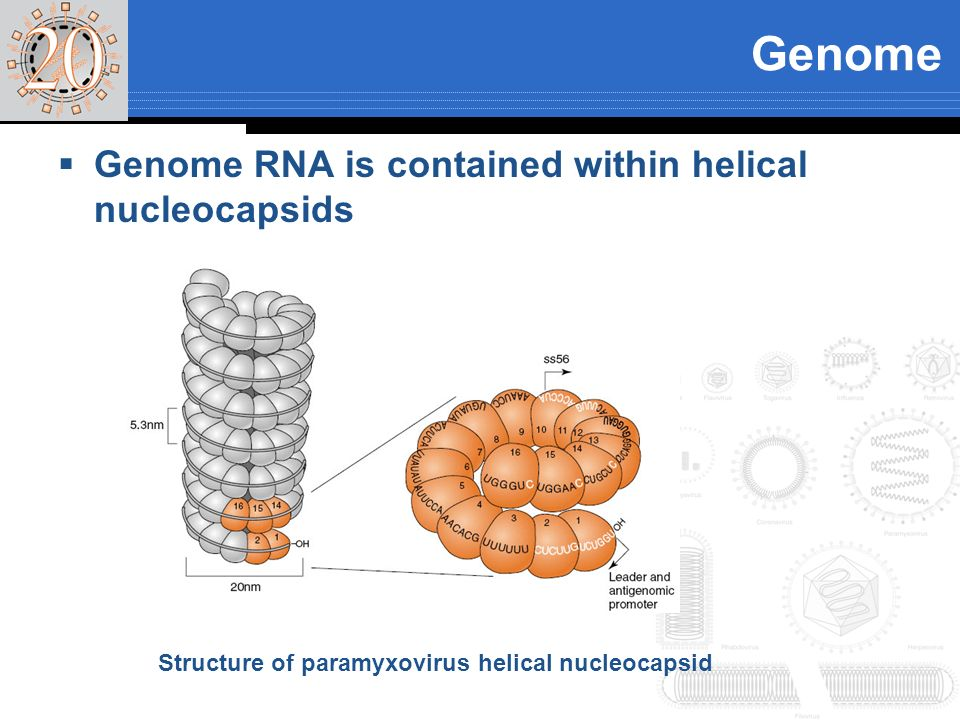 Genome Genome RNA is contained within helical nucleocapsids