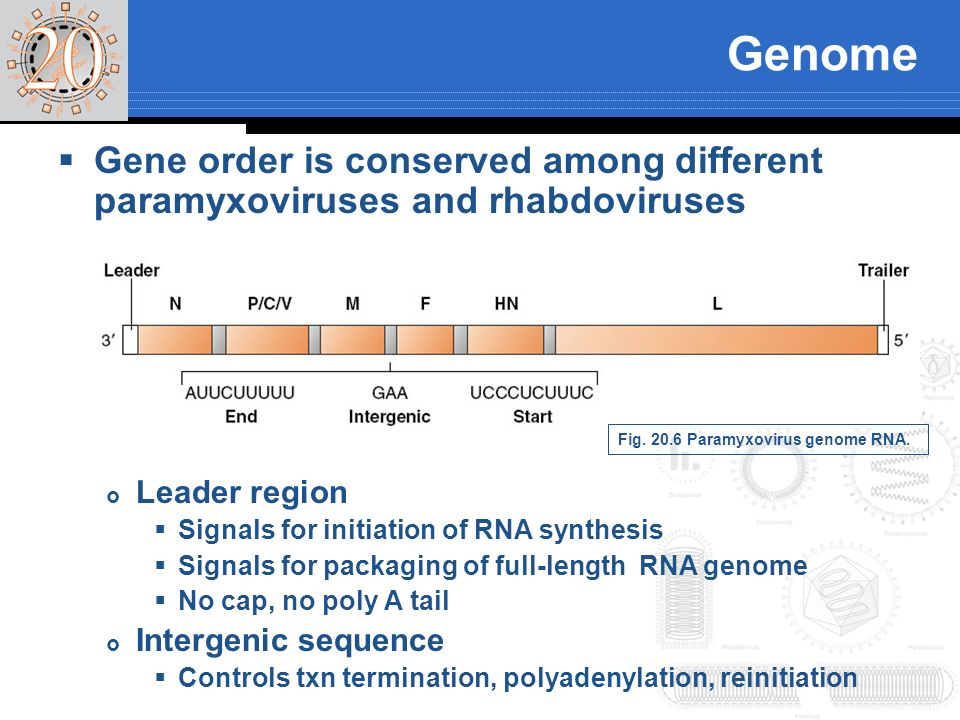 Genome Gene order is conserved among different paramyxoviruses and rhabdoviruses. Leader region. Signals for initiation of RNA synthesis.