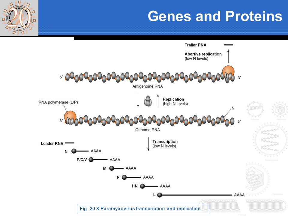 Genes and Proteins Fig Paramyxovirus transcription and replication.