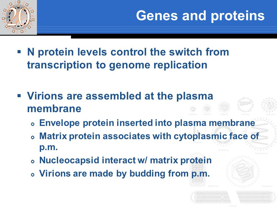 Genes and proteins N protein levels control the switch from transcription to genome replication. Virions are assembled at the plasma membrane.