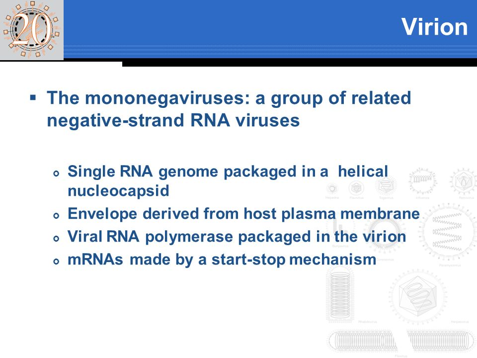 Virion The mononegaviruses: a group of related negative-strand RNA viruses. Single RNA genome packaged in a helical nucleocapsid.