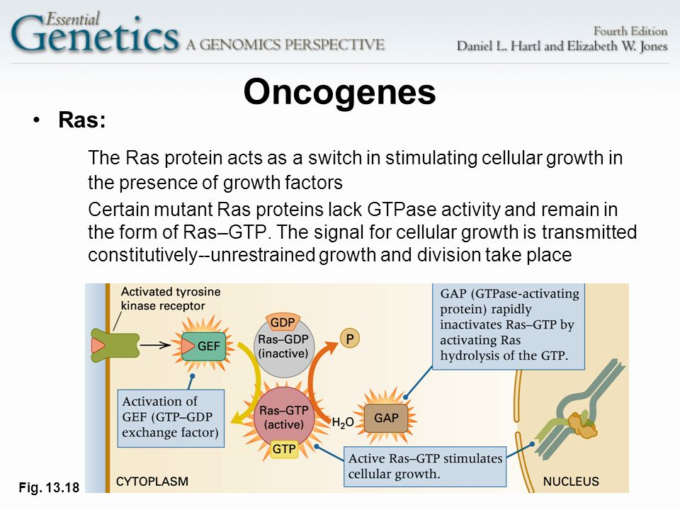 Oncogenes Ras: The Ras protein acts as a switch in stimulating cellular growth in the presence of growth factors.