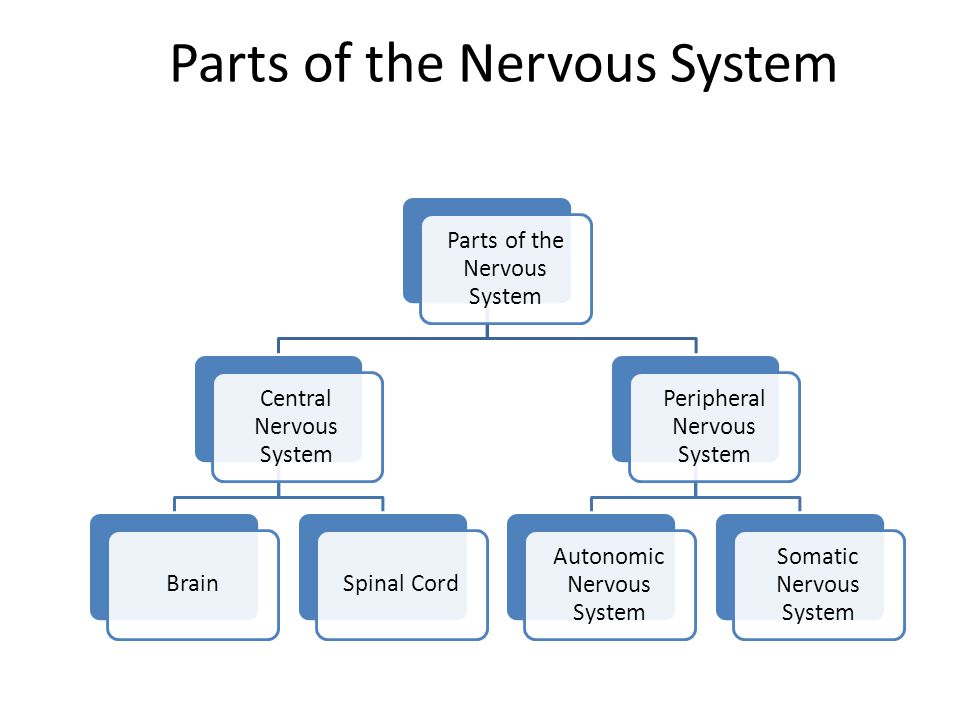 Do Now What Is The Function Of The Nervous System Ppt Download