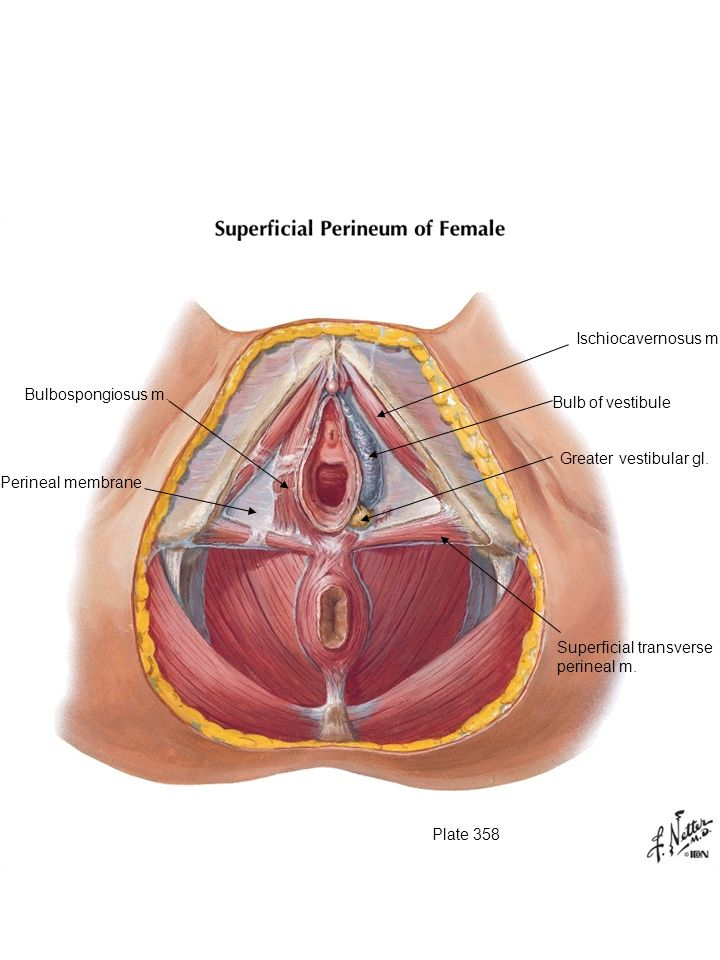 Male And Female Urogenital Triangle Ppt Video Online Download
