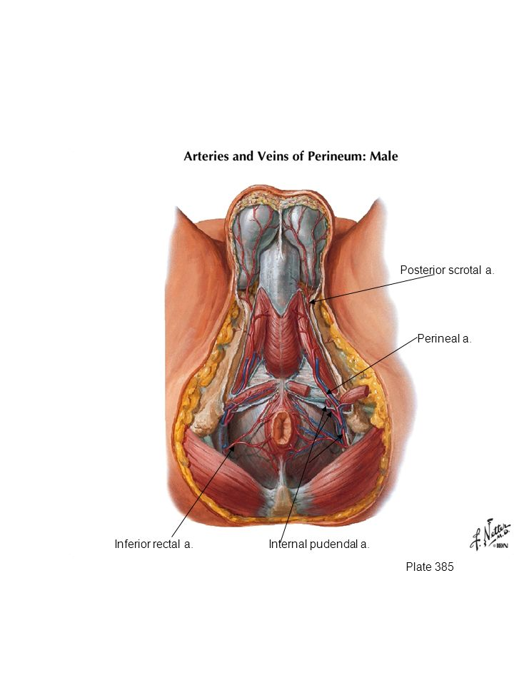 Posterior scrotal a. Branches of the internal pudendal artery. Inferior rectal artery. Perineal artery.