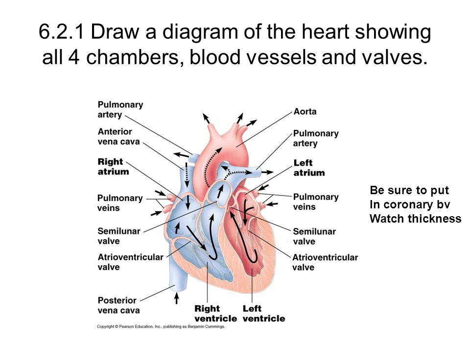 Sl review anatomy ppt video online download 621 draw a diagram of the heart showing all 4 chambers blood vessels ccuart Gallery