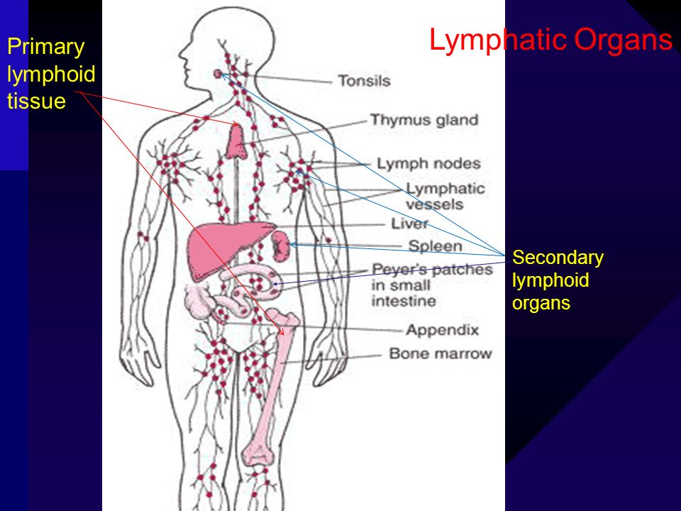 Lymphatic Organs Secondary lymphoid organs Primary lymphoid tissue