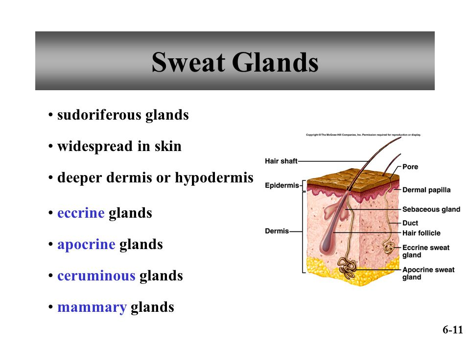 Sweat Glands sudoriferous glands widespread in skin