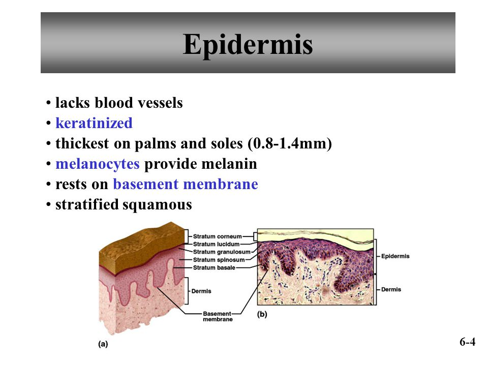 Epidermis lacks blood vessels keratinized