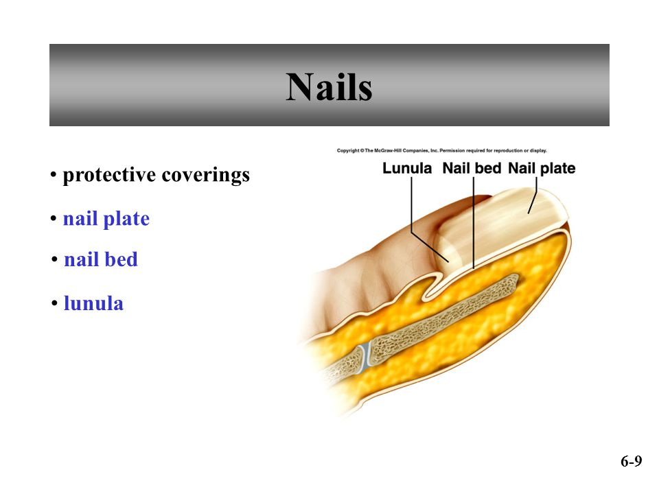 Nails protective coverings nail plate nail bed lunula 6-9