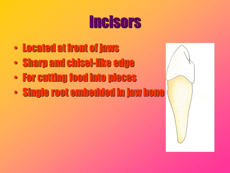 Incisors Located at front of jaws Sharp and chisel-like edge