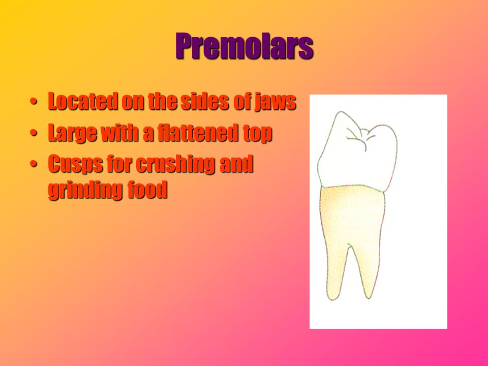 Premolars Located on the sides of jaws Large with a flattened top