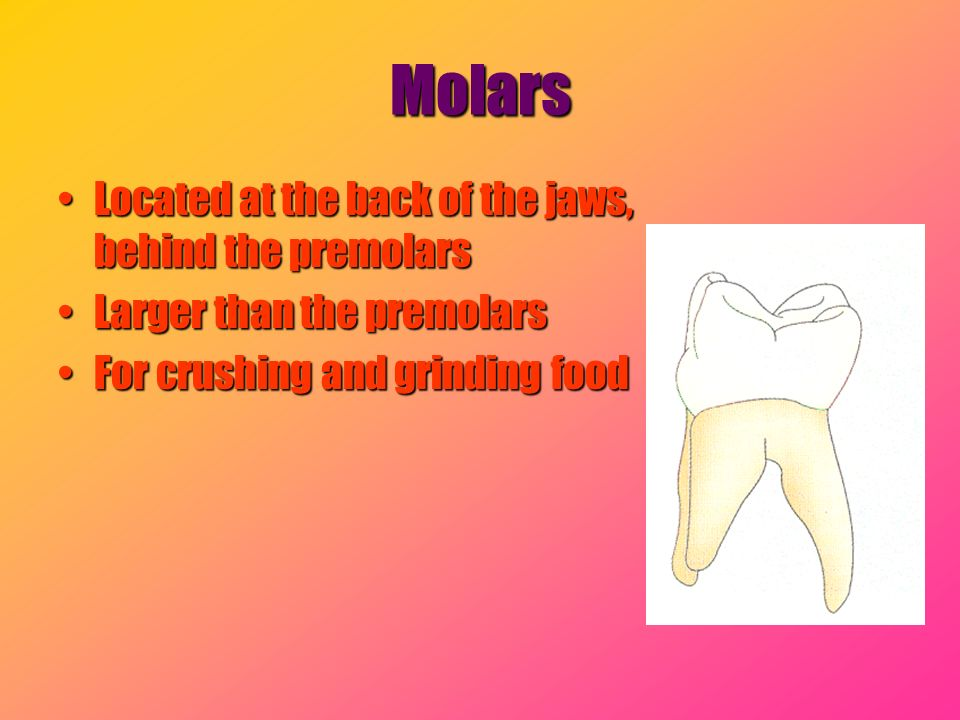 Molars Located at the back of the jaws, behind the premolars