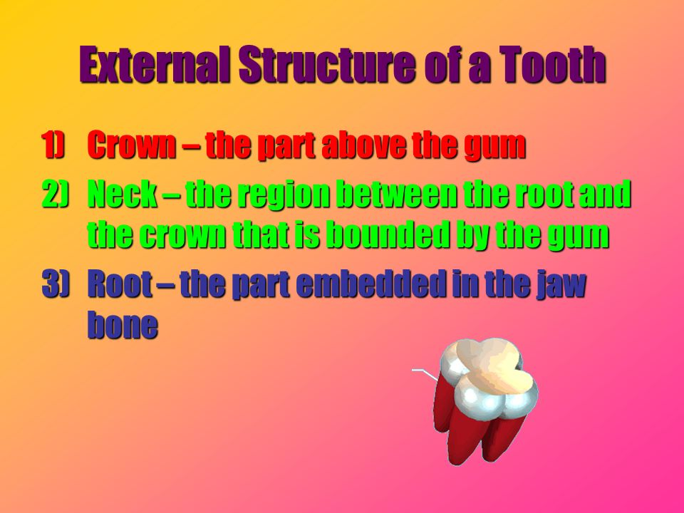 External Structure of a Tooth