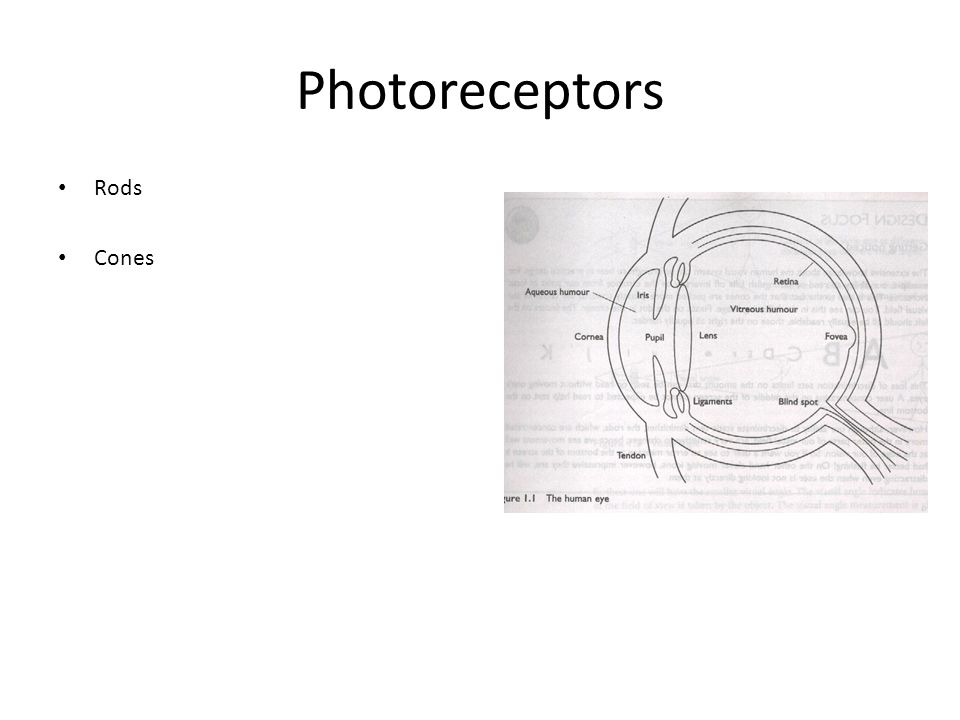 Photoreceptors Rods Cones
