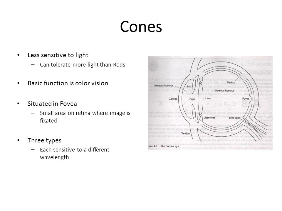 Cones Less sensitive to light Basic function is color vision