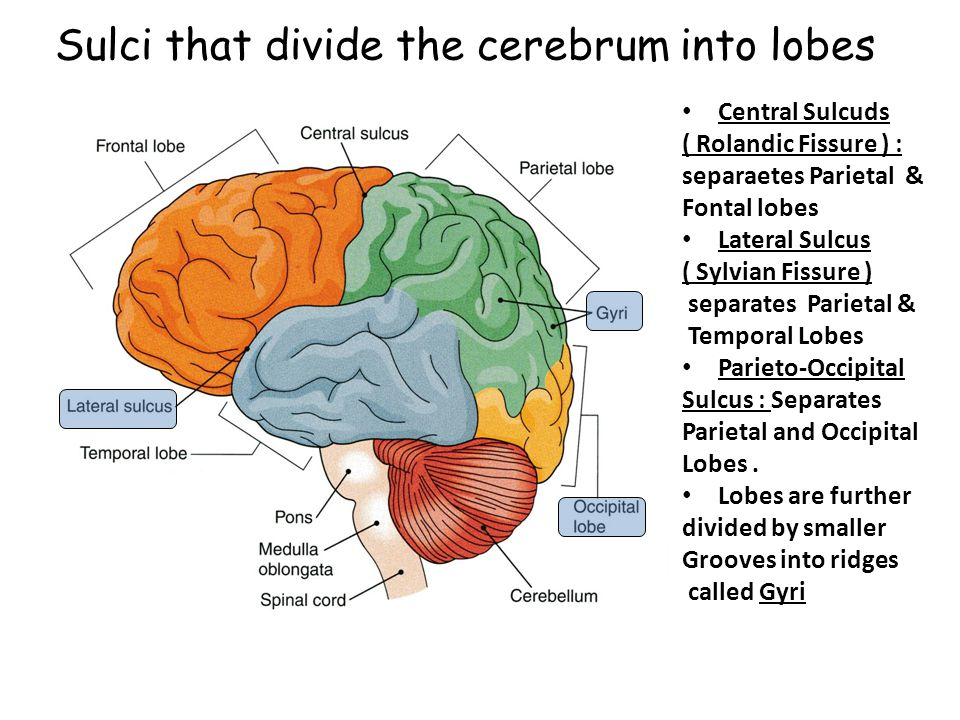 Sulci that divide the cerebrum into lobes
