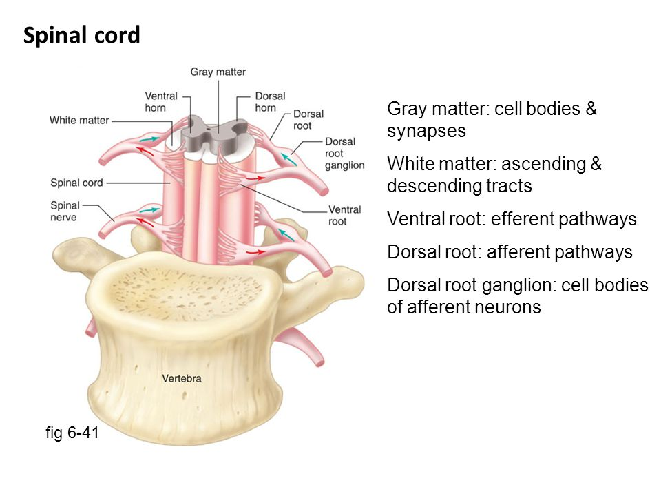 Spinal cord Gray matter: cell bodies & synapses