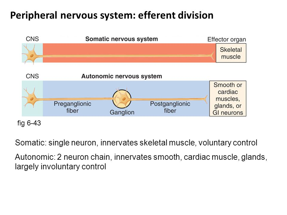 Peripheral nervous system: efferent division
