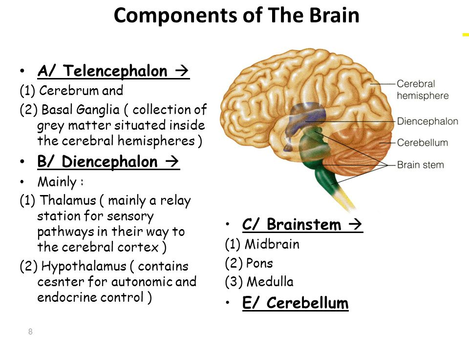 Components of The Brain