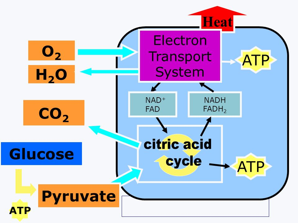 Heat O2 ATP H2O CO2 Glucose ATP Pyruvate MITOCHONDRION Electron