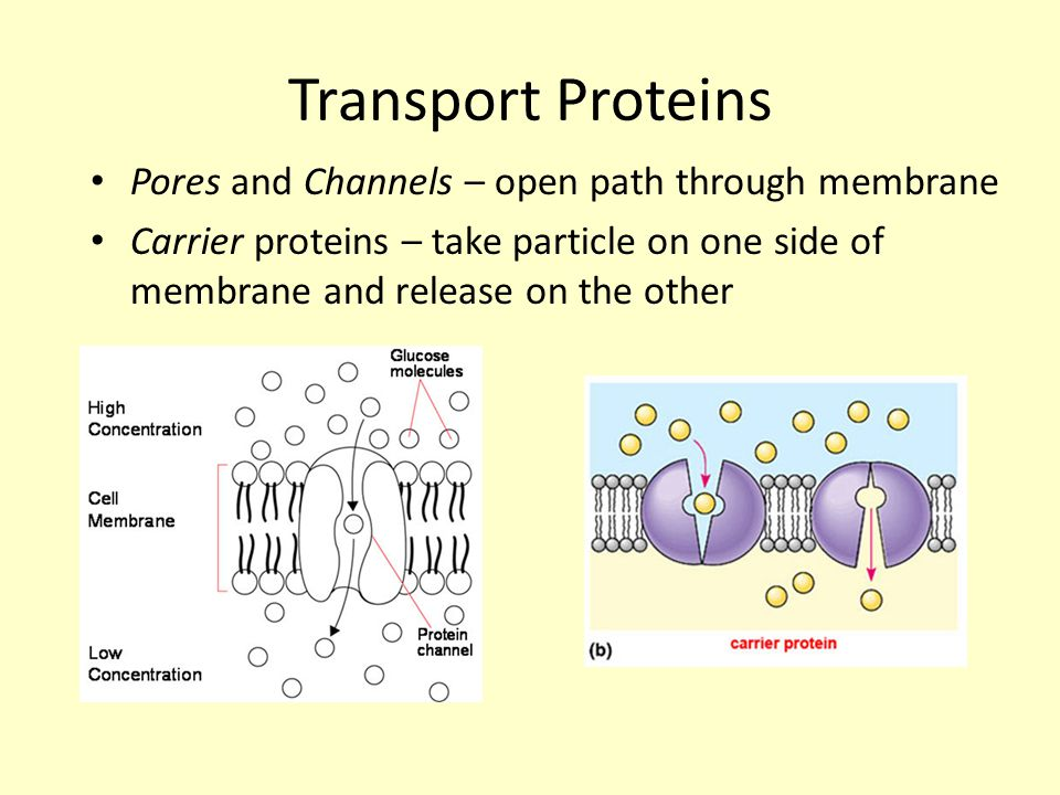 Transport Proteins Pores and Channels – open path through membrane