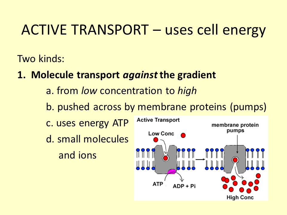 ACTIVE TRANSPORT – uses cell energy