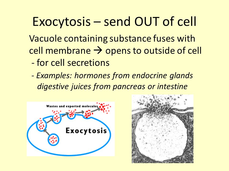 Exocytosis – send OUT of cell