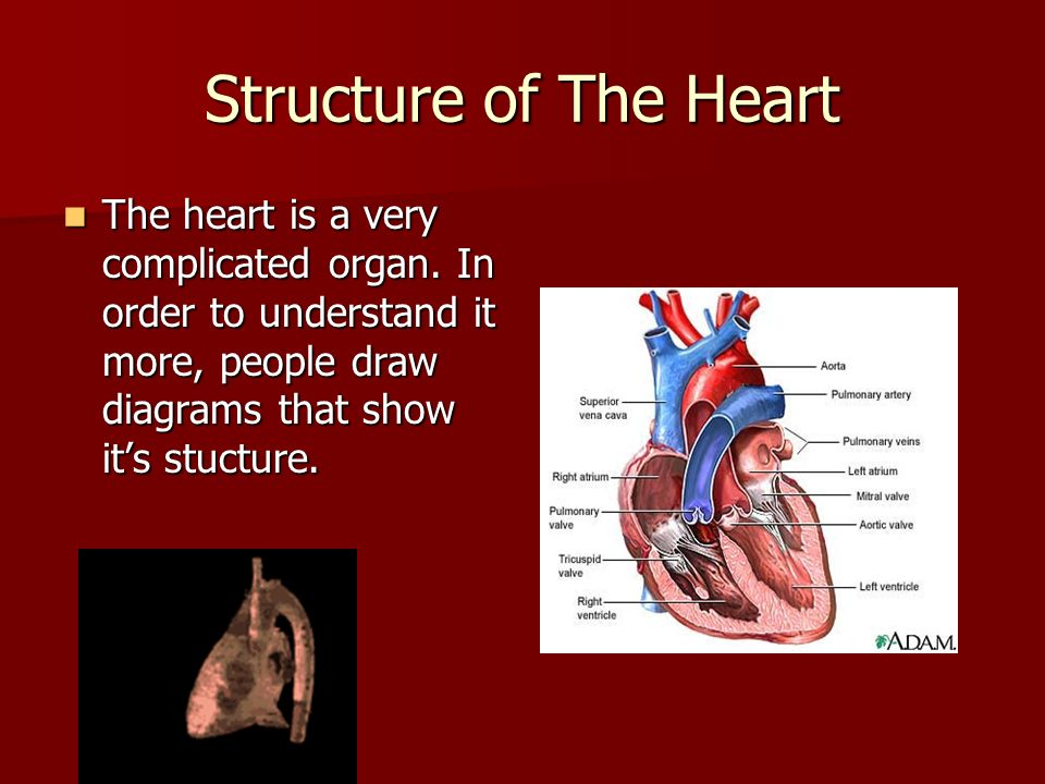 Structure of The Heart The heart is a very complicated organ.
