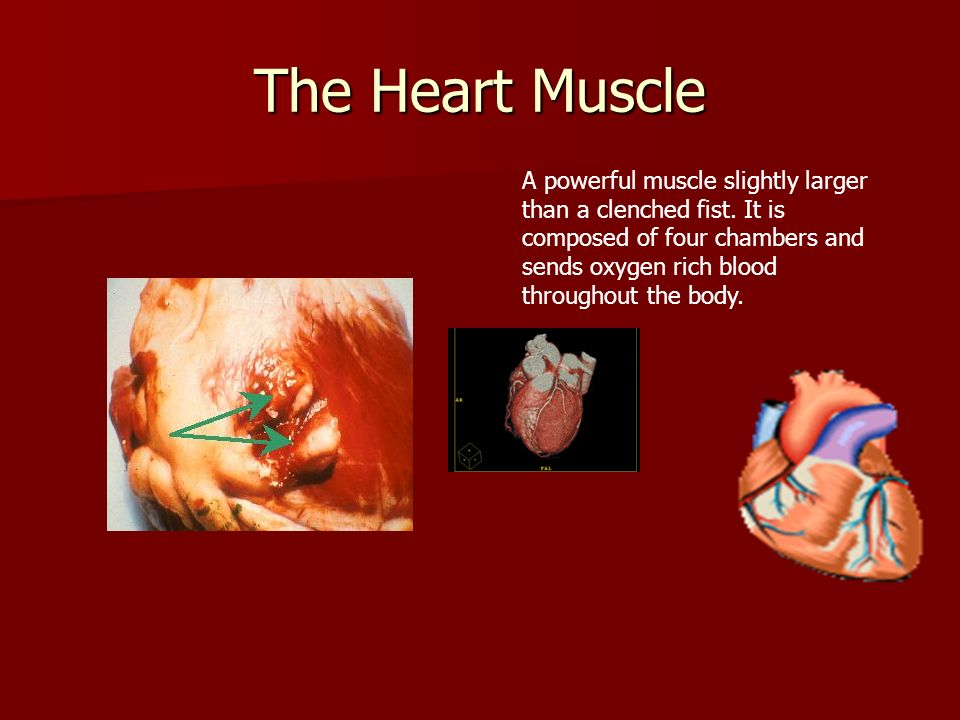 The Heart Muscle