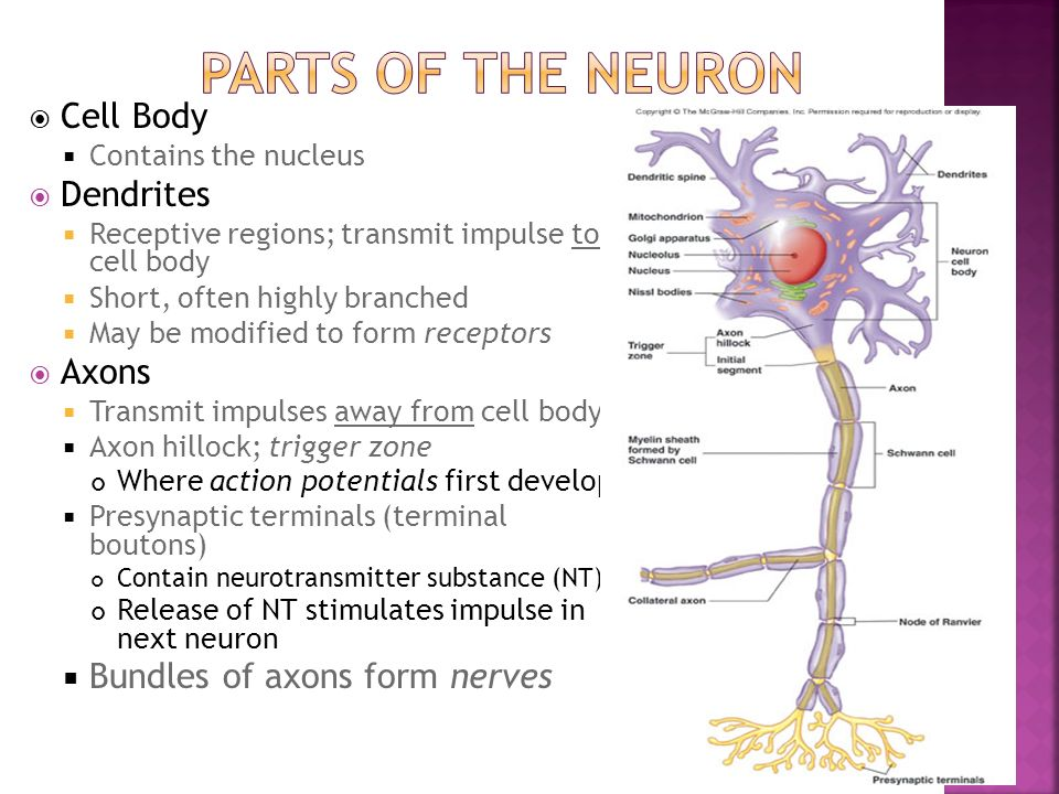 Parts of the Neuron Cell Body Dendrites Axons