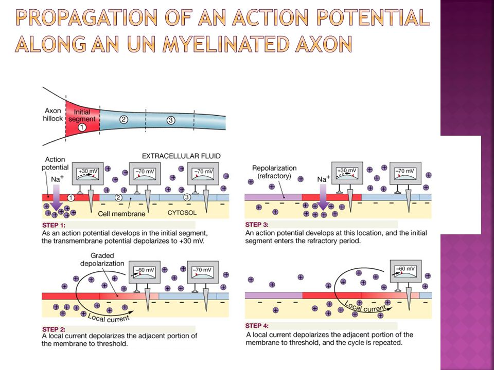 Propagation of an Action Potential along an Un myelinated Axon