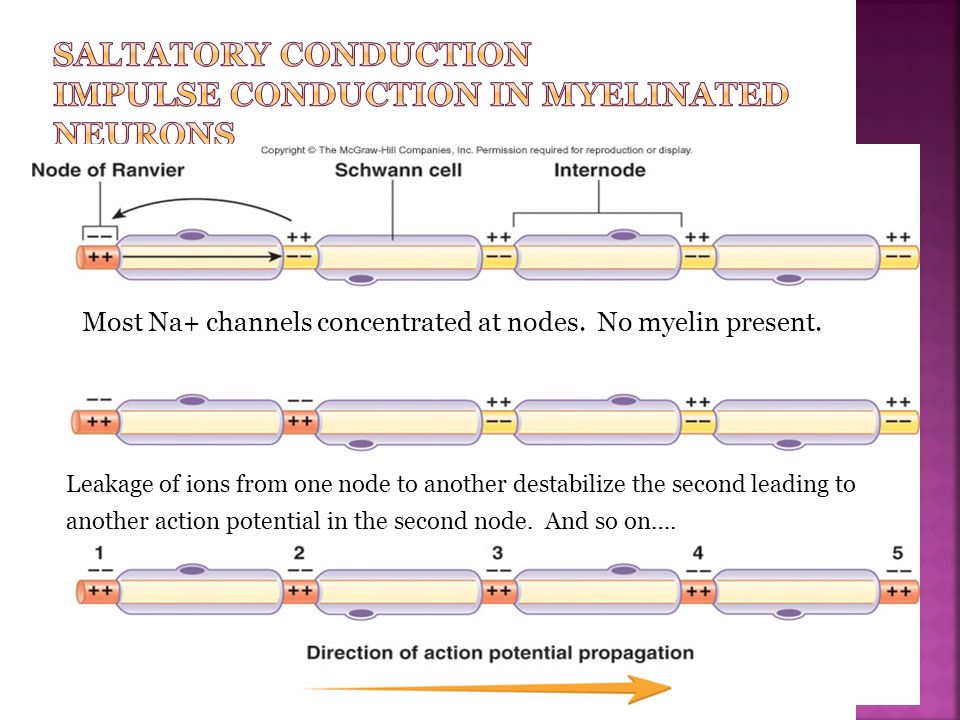 Saltatory Conduction Impulse Conduction in Myelinated Neurons