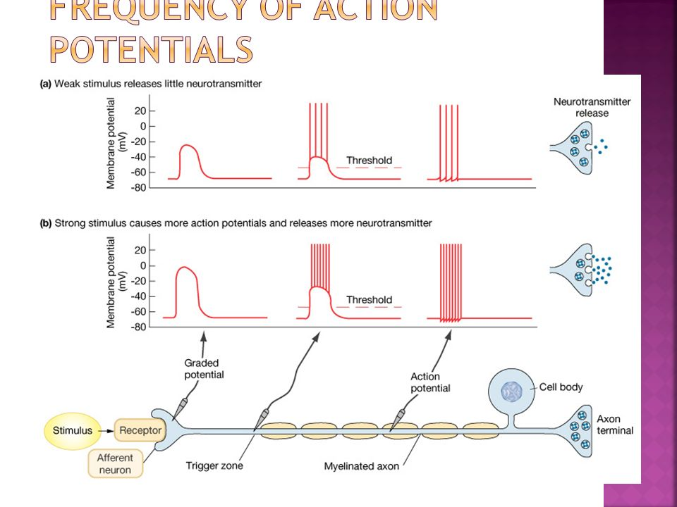 Frequency of Action Potentials