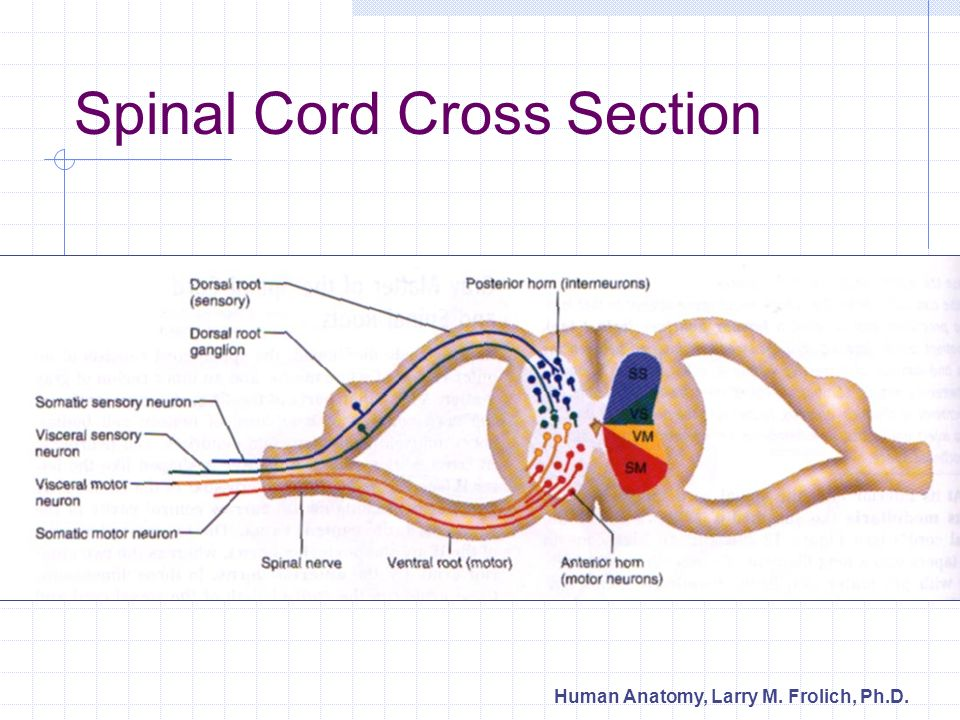 Nervous System Ii Spinal Cord And Spinal Nerves Ppt Video Online