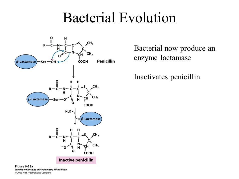 Bacterial Evolution Bacterial now produce an enzyme lactamase