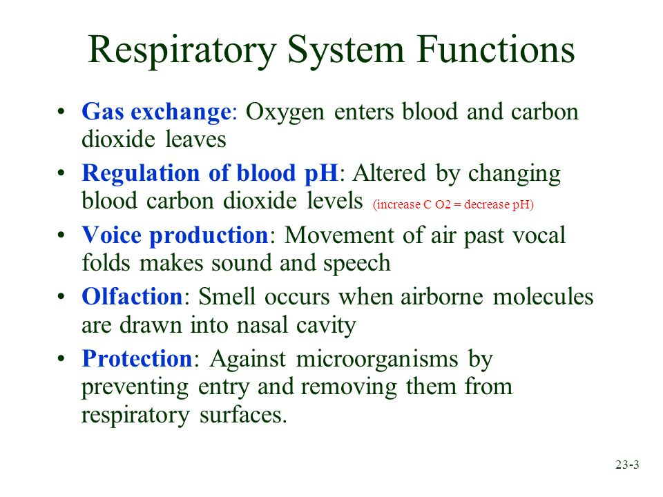 Chapter 23 Respiratory System. - ppt video online download