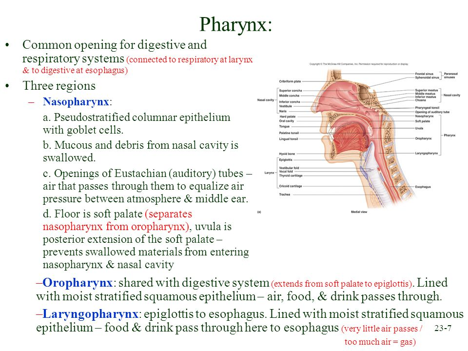 Pharynx: Common opening for digestive and respiratory systems (connected to respiratory at larynx & to digestive at esophagus)