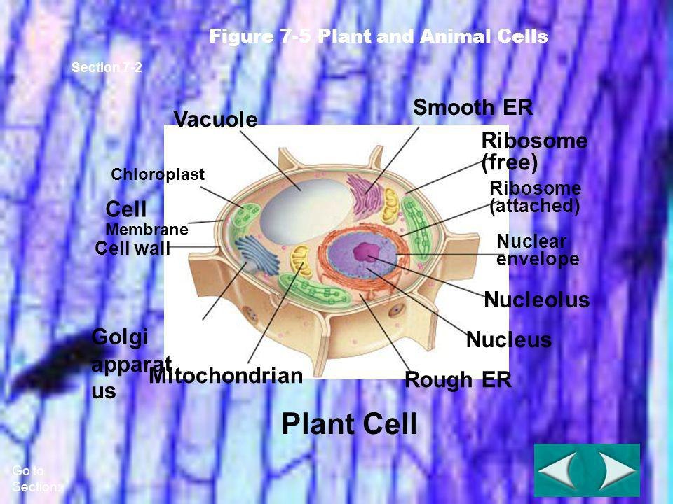 Plant Cell Smooth ER Vacuole (free) Cell Nucleolus Golgi apparatus