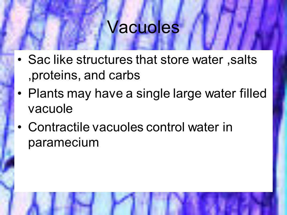 Vacuoles Sac like structures that store water ,salts ,proteins, and carbs. Plants may have a single large water filled vacuole.